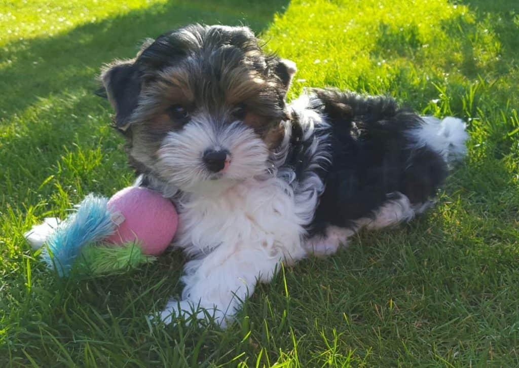 boomer hond die op het gras ligt met een speeltje