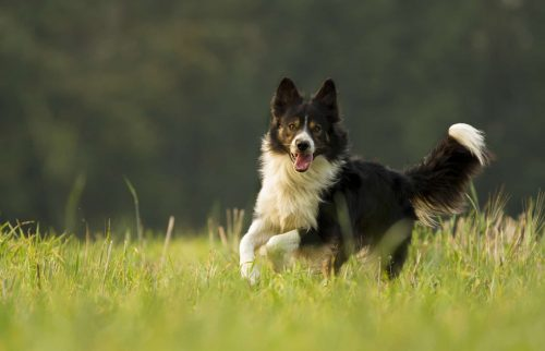 border collie die door hoog gras rent