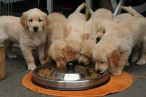 puppy's eten samen uit een voerbak
