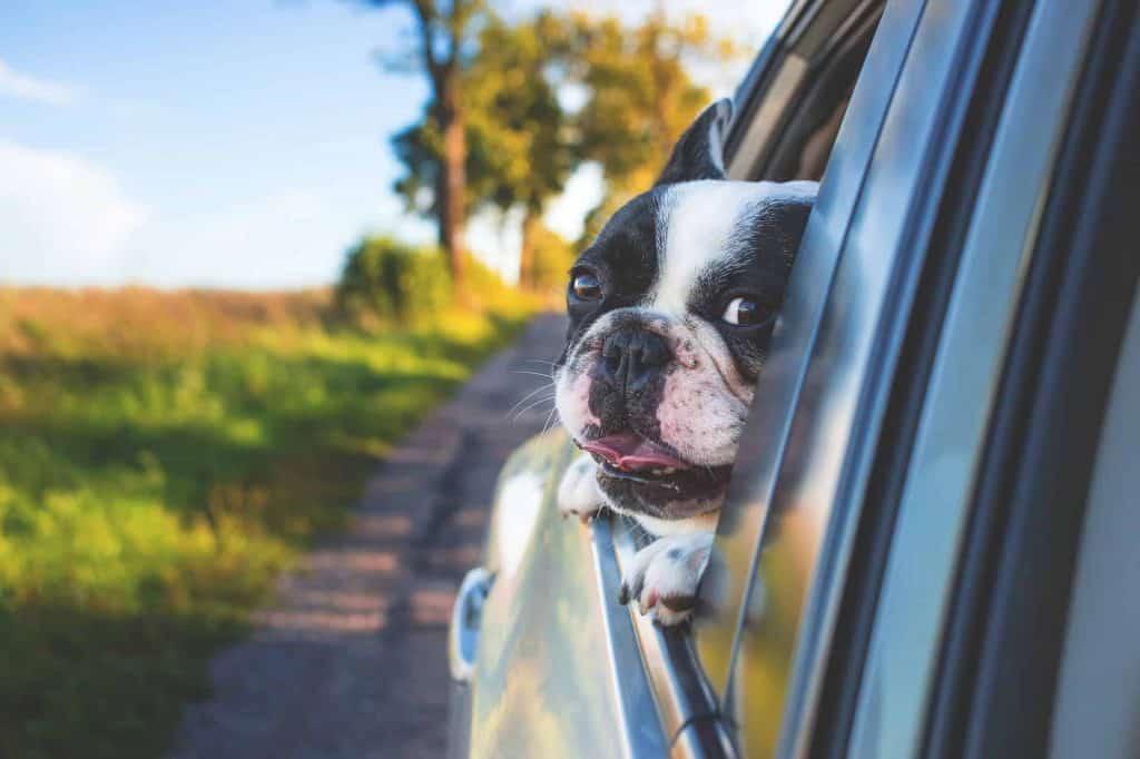 hond hangt uit autoraam