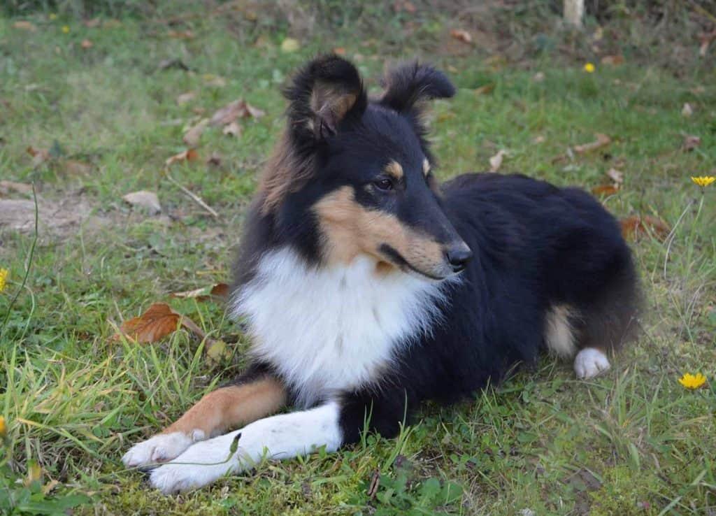 hond die op het gras ligt