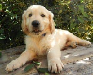 hond die op een houten plank ligt