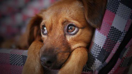 bruine hond met grote ogen die in een mand ligt