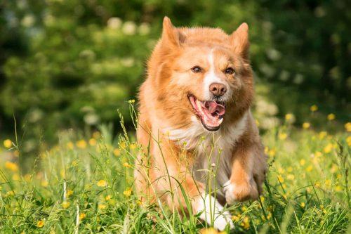 hond rent door het gras