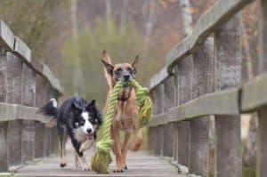 honden rennen met een groen touw over een loopbrug