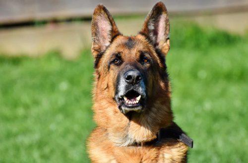 herdershond met grote oren in het gras