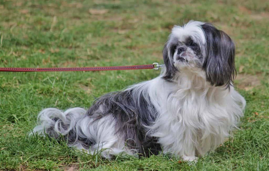 hond ligt in het gras aan de lijn