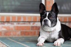 kleine hond met oren rechtop