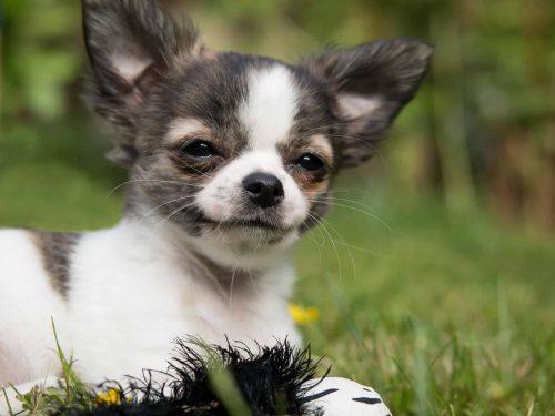 chihuahua ligt in het gras