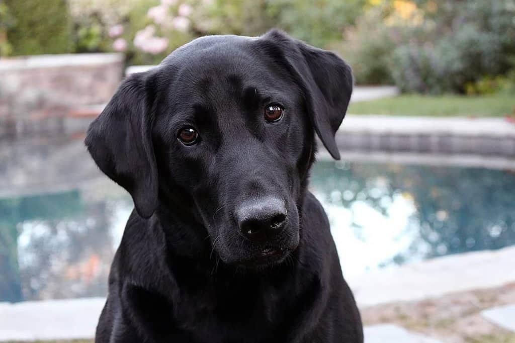 zwarte labrador retriever zit voor een vijver