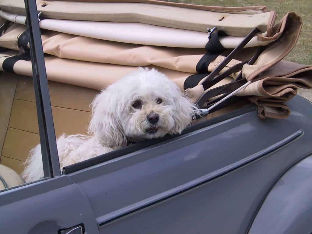 wit hondje in een cabrio