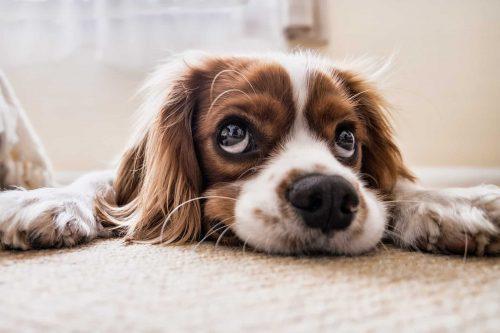 hond ligt gestrekt op de grond