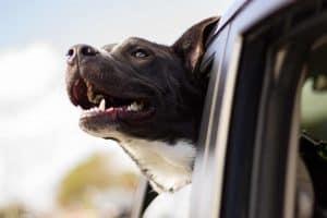 hond steekt met hoofd uit autoraam