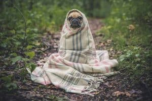 pug hond met deken om zich heen in het bos