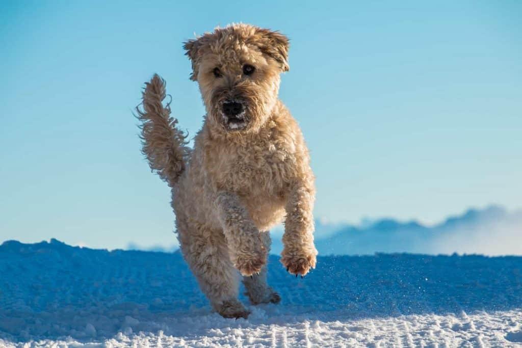 hond springt op een pak sneeuw dat er ligt