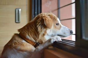 hond kijkt uit een raam