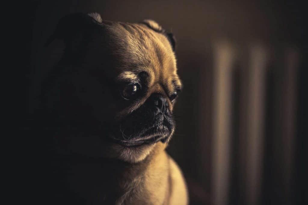 pug hond kijkt sip