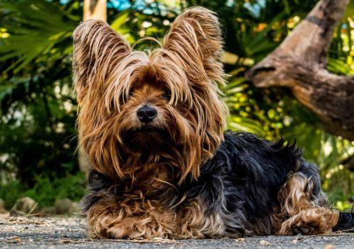 yorkshire terrier ligt op de grond