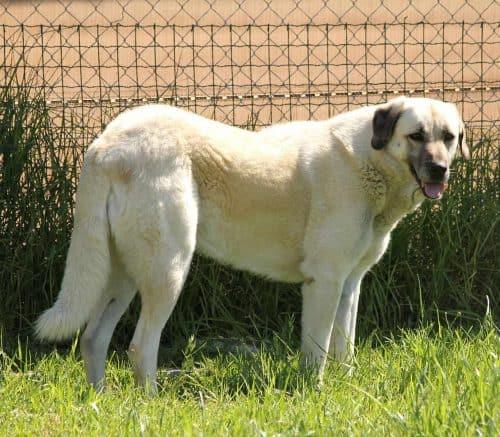 anatolische herder staat in het gras