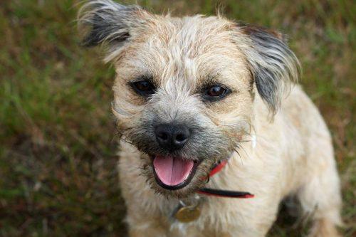 border terrier staat met bek open