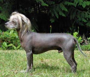 chinese naakthond staat in het gras