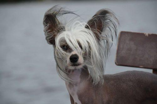 chinese naakthond staat op straat