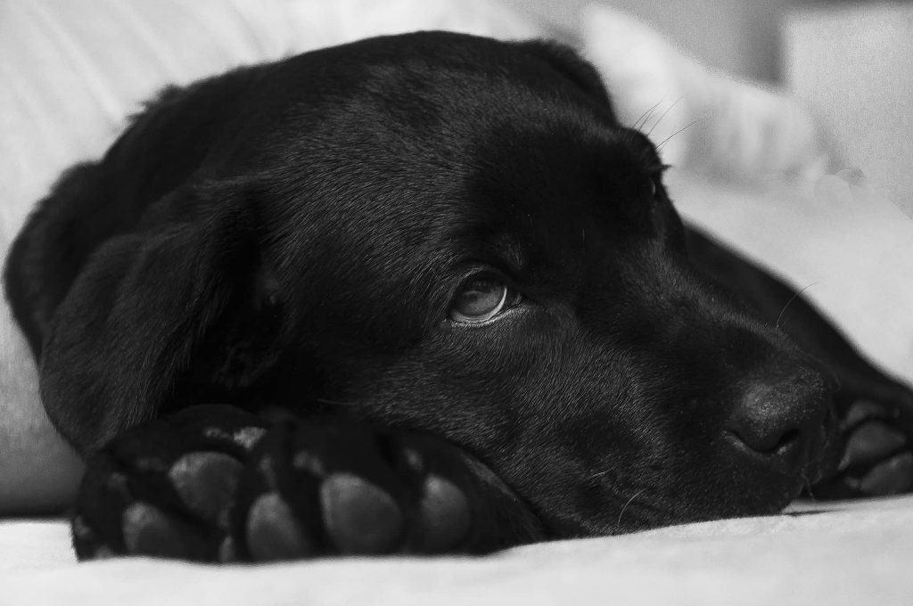 close up van een hond liggend op bed