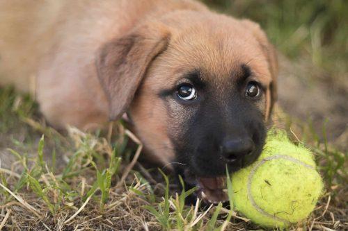 duitse herder puppy bijt in een tennisbal