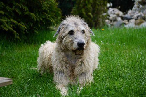 ierse wolfshond ligt in het gras