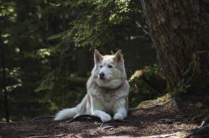 siberische husky die in het bos ligt