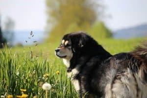 tibetaanse mastiff staat in het hoge gras