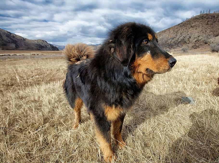 tibetaanse mastiff loopt op dor gras