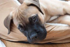 bullmastiff puppy ligt in een hondenmand
