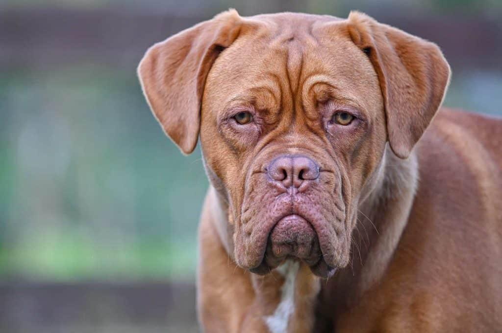 close up van een bordeauxdog
