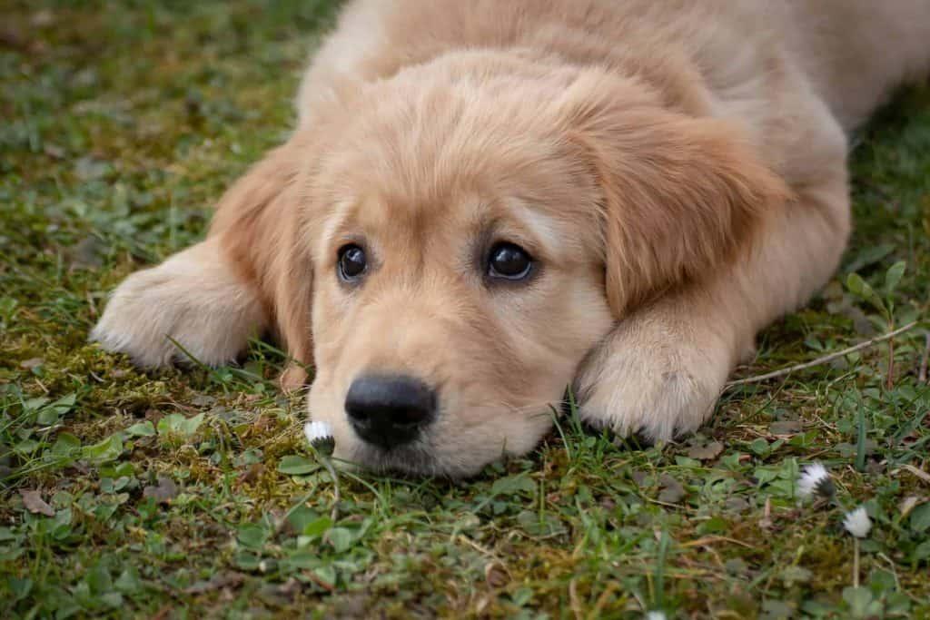 golden retriever puppy ligt met kop op een grasveld