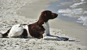 heidewachtel ligt op het strand