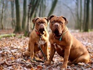 twee bordeauxdogs zitten in het bos
