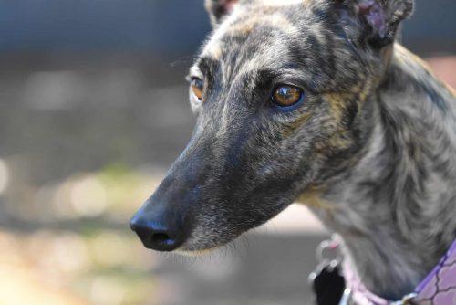 close up van een greyhound