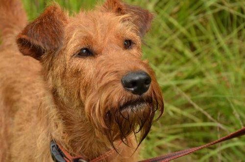 close up van een ierse terrier
