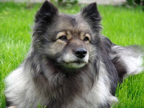 close up van een keeshond