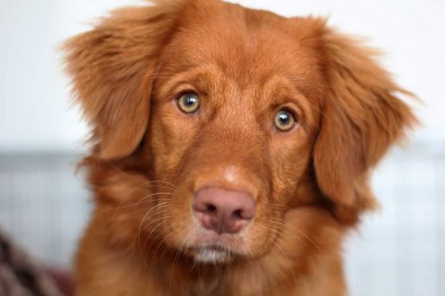 close up van een nova scotia duck tolling retriever