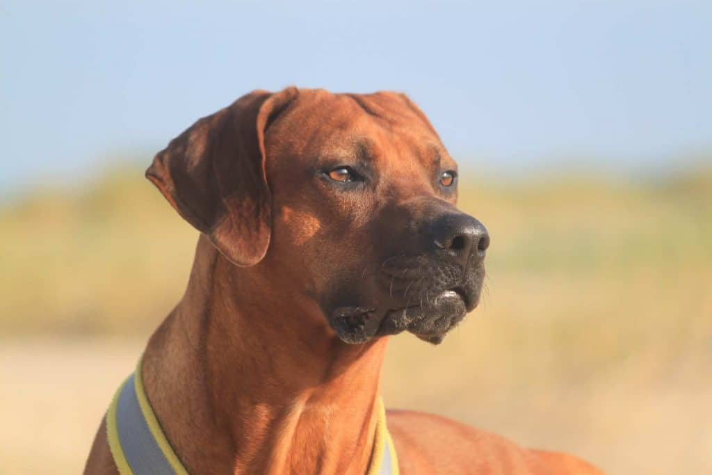 close up van een rhodesian ridgeback
