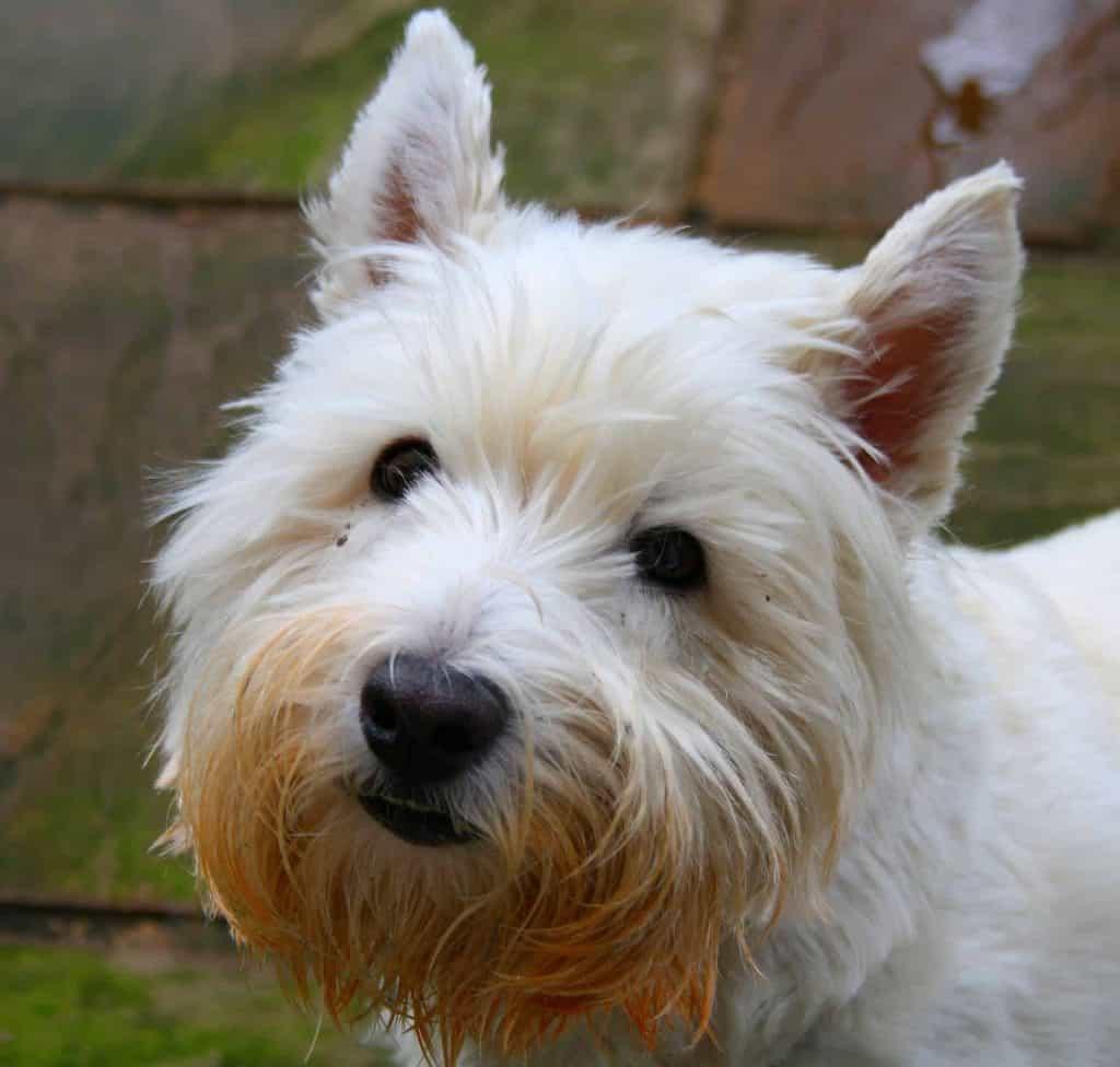 close up van een west highland white terriër