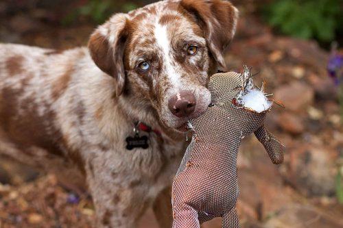 hond met een kapotte knuffel in zijn bek