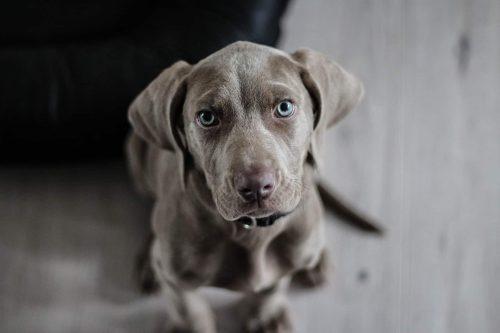 hond kijkt in de cameralens