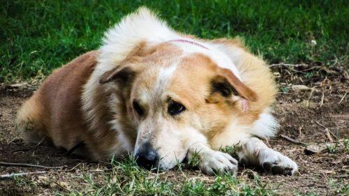 hond ligt in het gras en kijkt zielig
