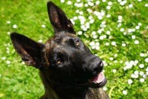 hond moet niezen in een grasveld