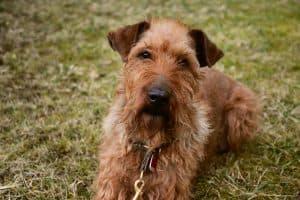 ierse terrier ligt in het gras