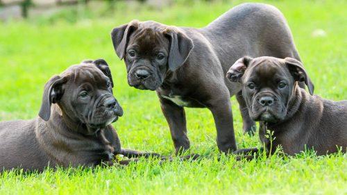 puppy's in een grasveld