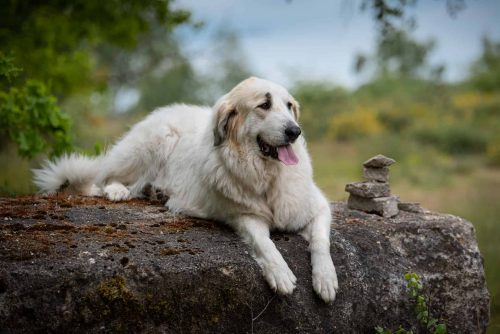 pyrenese berghond ligt op een boomstronk